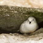 Snow Petrel in nest by Coreena Vieth