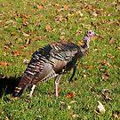 Tom T. Turkey by Gary L   Suddath