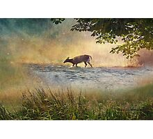 White Tail Deer Touting the Water - Parc National Mont Tremblant Photographic Print
