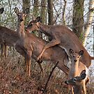 A family of White-tailed Deer at sunset by Alinka