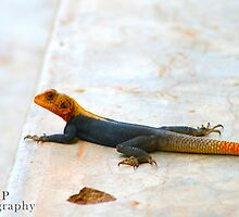Male Lizard by Jessica  Page