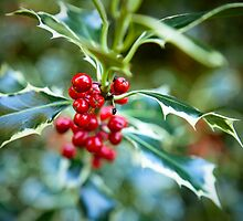 Holly at Christmas time by ClaudineCook