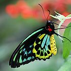 Big n Beautiful Birdwing Butterfly by Sabrina Ryan