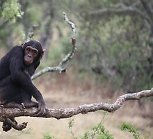 Chimp Eden I by Samantha Bailey