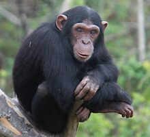 Chimp Eden II by Samantha Bailey