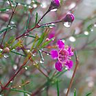 Geraldton Waxflower. by Bette Devine