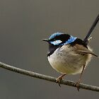 Superb Fairy Wren by Coreena Vieth