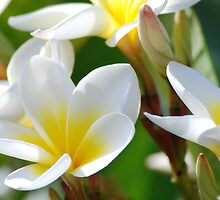 Frangipani's by Scott  Cook