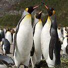 King Penguins, Salisbury Plains, South Georgia by Coreena Vieth