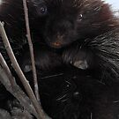 Needles / Young Porcupine by Gary Fairhead