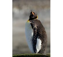 King Penguin moulting, St Andrews Bay, South Georgia Photographic Print