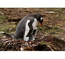 Gentoo Penguin & chick, Godthul, South Georgia Photographic Print