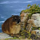 """Kaapse Dassie"" Rock Rabbit (Procavia capensis) South Africa  by Qnita"