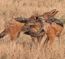 Okonjima - Black Backed Jackals by Samantha Bailey
