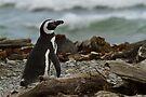 Magellanic Penguin, Otway Sound, Patagonia, Chile by Coreena Vieth