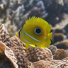 Eclipse Butterflyfish by Jessica Fittock