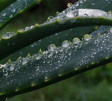 water drops on aloes by Martina  Stoecker