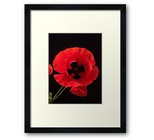 Papaver sp. Framed Print