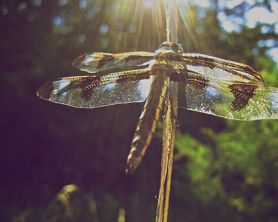 Sunrays on a Dragonfly by lindsycarranza