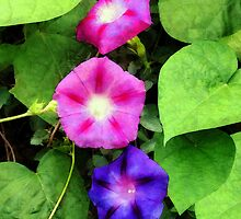 Pink and Purple Morning Glories by Susan Savad