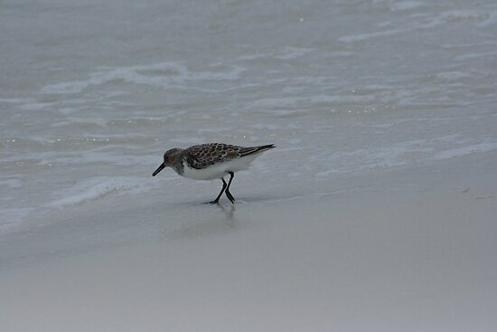 Sanderling, Pensacola Beach by eangelina64