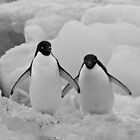 Adelie Penguins, Devil&#x27;s Island, Antarctic Peninsula by Coreena Vieth