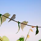 Dark-sided Flycatcher Bird by srijanrc