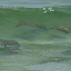 Cow Nose Rays in a Wave by eangelina64