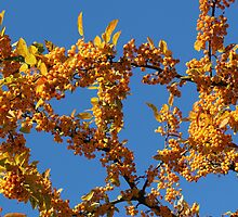 Fall Tree with Yellow Berries by marybedy