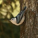 White Breasted Nuthatch by eaglewatcher4