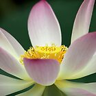 Beautiful Lotus Blooming by Sabrina Ryan