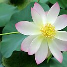 LOVELY LOTUS FLOWER PHOTOGRAPHY by SABRINA L RYAN by Sabrina Ryan