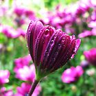 African Daisy  by sandralee1989