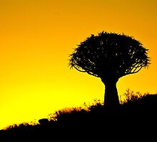 Quiver Tree Silhouette by Martina  Stoecker