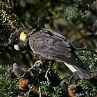 Yellow Tailed Black Cockatoo in Banksia tree by Christine Beswick