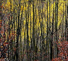 October Aspen Forest of Color by Vicki Pelham
