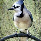 Blue-Jay Portrait by Renee Blake