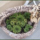 Basket of hens and chicks. by Sandra Foster