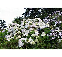 Hydrangeas Galore! Photographic Print