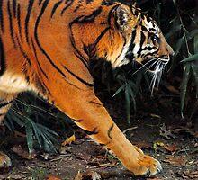 Tiger Tracks by Robin Lee