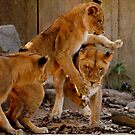 Playful Cubs by Robin Lee