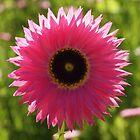 Daisy. Western Australia.  by John Sharp