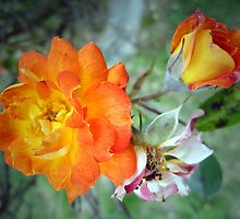 Three Stages of Life of a Rose by George Petrovsky