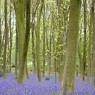 Bluebell Woods, Micheldever Forest by Andrew Duke