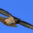 Red Tail Shows It's Wingspan by DARRIN ALDRIDGE