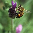 Lavender Bee  by WendyJC