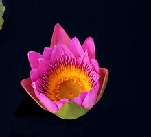 Hot Pink Water Lily by Rosalie Scanlon