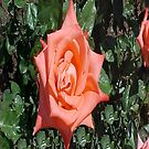 Orange Rose... by Photos55