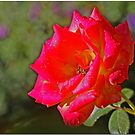Garden Rose by Chet  King