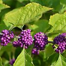 Beautyberries - A beautiful Rich Purple Berry by Paula Betz